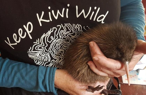 Kiwi chick being held by a kiwi handler